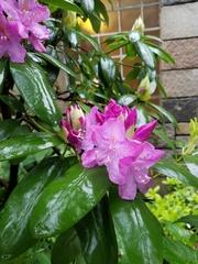 Rhododendron ponticum image