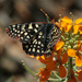 Chalcedon Checkerspot - Photo (c) NatureShutterbug, all rights reserved, uploaded by Lynn Watson, Santa Barbara