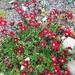 Saxifraga × arendsii - Photo (c) loonwi, kaikki oikeudet pidätetään