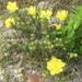Opuntia drummondii - Photo (c) Amber Rhodes, todos os direitos reservados
