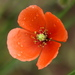 Poppies - Photo (c) Jay L. Keller, all rights reserved