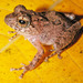 Ferguson's Tree Frog - Photo (c) herpguy, all rights reserved, uploaded by Paul Freed