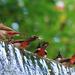 Pycnonotidae - Photo (c) Takuya Morihisa, todos los derechos reservados