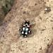 Eriopis punicola - Photo (c) lgmosquera, all rights reserved