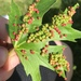 Maple Bladdergall Mite - Photo (c) Sandra Elsner, all rights reserved