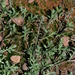 Veiny Pepperweed - Photo (c) jrebman, all rights reserved