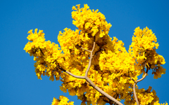 Handroanthus chrysanthus image
