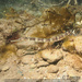 Syngnathus acus - Photo (c) tamsynmann, כל הזכויות שמורות