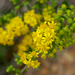 Downy Ragged Goldenrod - Photo (c) Eric Hunt, all rights reserved