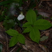 Japanese Jack-in-the-Pulpit - Photo (c) Pauline Catling, all rights reserved