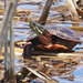 Midland Painted Turtle - Photo (c) Jerry Cannon, all rights reserved