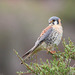 American Kestrel - Photo (c) Valentín Gonzalez Feltrup, all rights reserved