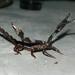 Diplocentrus taibeli - Photo (c) Erick Martínez Espejel, todos los derechos reservados