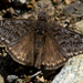 Propertius Duskywing - Photo (c) NatureShutterbug, all rights reserved, uploaded by Lynn Watson, Santa Barbara