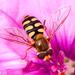 Eupeodes corollae - Photo (c) Valter Jacinto, όλα τα δικαιώματα διατηρούνται