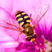Migrant Hover Fly - Photo (c) Valter Jacinto, all rights reserved