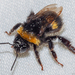 Bombus - Photo (c) Valter Jacinto, all rights reserved