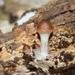 Psilocybe subaeruginosa - Photo (c) wmblom, todos los derechos reservados, uploaded by Wilma Blom