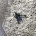 Sphenophorus cicatristriatus - Photo (c) Wendy Benson Aposhian, all rights reserved