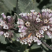 Eriodictyon traskiae - Photo (c) NatureShutterbug, todos los derechos reservados, uploaded by Lynn Watson, Santa Barbara