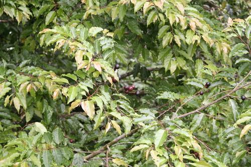 Prunus annularis image