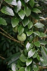 Passiflora lancearia image