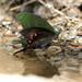 Papilio paris nakaharai - Photo (c) WK Cheng, todos os direitos reservados
