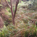 Carex lessoniana - Photo (c) Kate, all rights reserved