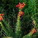 Trompeta Escarlata - Photo (c) yakman58, todos los derechos reservados