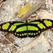 Mariposas Falsas Malaquitas - Photo (c) Carlos S. Rodrigues, todos los derechos reservados