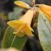 Rhododendron cinnabarinum - Photo (c) Tenzin DENDUP, todos los derechos reservados
