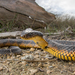 Western Tiger Snake - Photo (c) Adam Brice, all rights reserved
