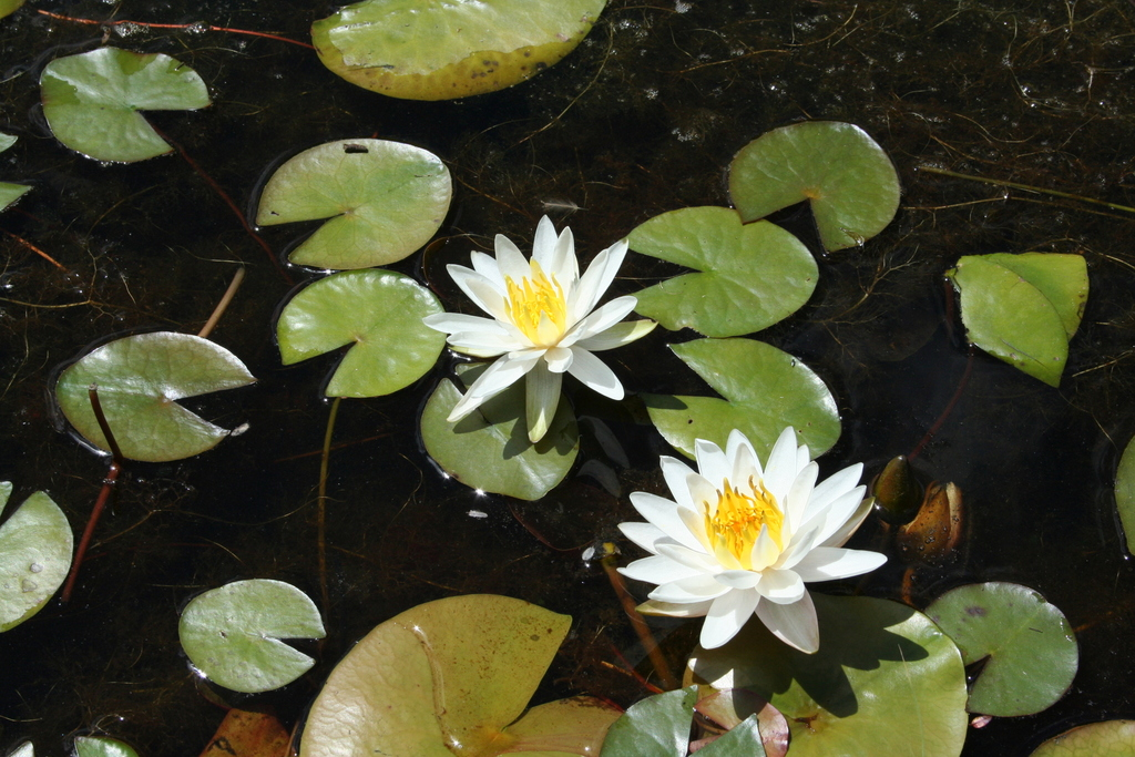 American White Waterlily - Photo (c) Elvira de Lange, all rights reserved