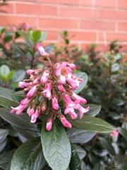 Image of Escallonia rubra