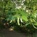 Tilia begoniifolia - Photo (c) Yeonji Kim, todos los derechos reservados
