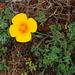 Eschscholzia californica maritima - Photo (c) faerthen, todos los derechos reservados, uploaded by faerthen