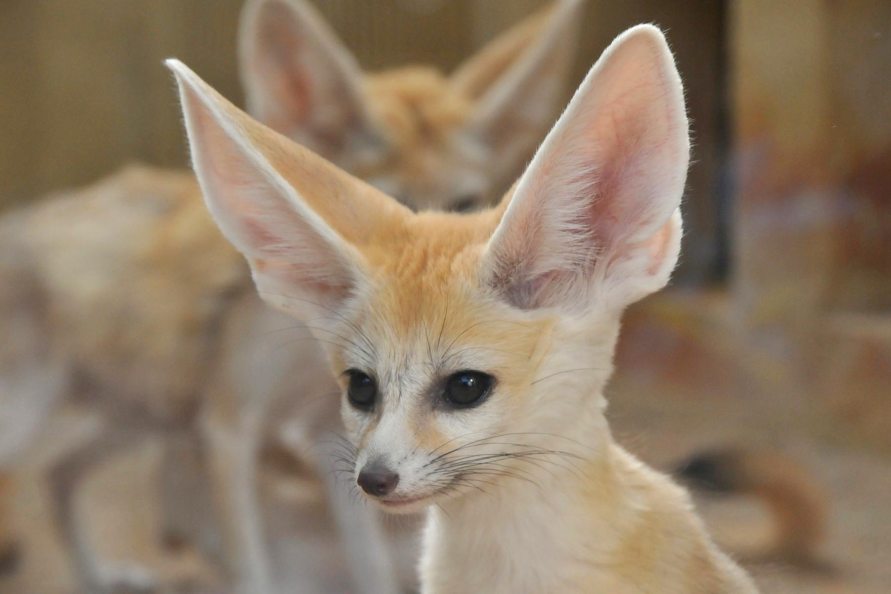 Fennec Fox Vulpes Zerda Inaturalistorg