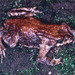 Forest Toads - Photo (c) herpguy, all rights reserved, uploaded by Paul Freed