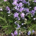 Moss Phlox - Photo (c) clindal, all rights reserved