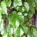 Japanese Creeper - Photo (c) cbarron, all rights reserved
