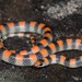 Ground Snake - Photo (c) Alice Abela, all rights reserved