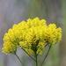 Tall Pinebarren Milkwort - Photo (c) Bryan Ames, all rights reserved