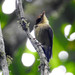 Platyrinchus flavigularis - Photo (c) Ben_The_Hen, todos los derechos reservados, uploaded by Ben Sanders