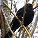 Eurasian Blackbird - Photo (c) Milot Kurshumliu, all rights reserved
