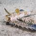 Dactyloptena orientalis - Photo (c) Nicolas & Léna REMY, todos los derechos reservados