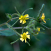 Sigesbeckia jorullensis - Photo (c) Anne, όλα τα δικαιώματα διατηρούνται