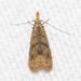 Dichomeris punctipennella - Photo (c) Timothy Reichard, todos los derechos reservados