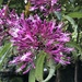 Fuchsia paniculata - Photo (c) amadero88, todos los derechos reservados