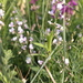 Astragalus austriacus - Photo (c) paatrick95, all rights reserved