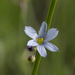 Prairie Blue-eyed Grass - Photo (c) roberta herschleb, all rights reserved